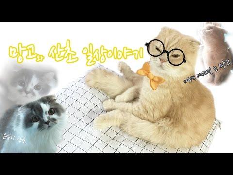 스코티쉬폴드 고양이 냥냥펀치 Adorable cats,cat punch,scottishfold cat / 러뷰망고