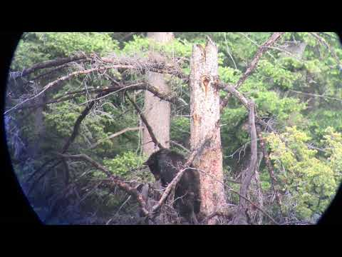 Black Bear in Tree - Yellowstone Guidelines
