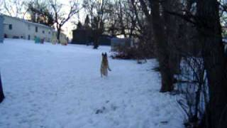 "Jordan (german Shepherd) And Jay (weimaraner) Squirrel ""hunting"""