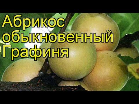 Вопрос: Какие характеристики абрикоса Графиня?