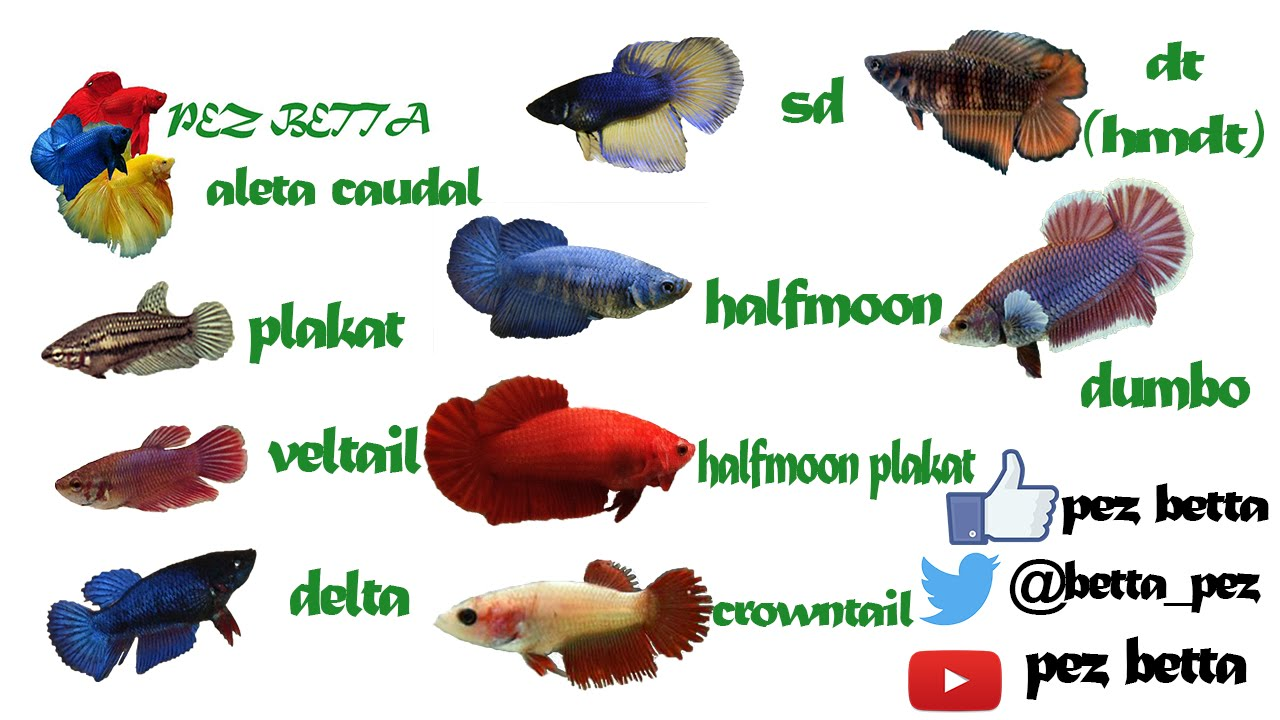 Pez betta hembra tipos de cola youtube for Variedad de peces