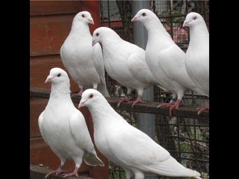Homing Pigeons -- The White Homers Have Babies!!!