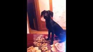 Веселая собака Грейс. Метис лабрадора