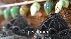 Botania: perhosen elinkierto (Life cycle of a butterfly - English subtitles)