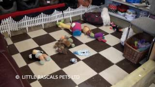 Little Rascals Uk Breeders New Litter Of Bichon Frise - Puppies For Sale 2016