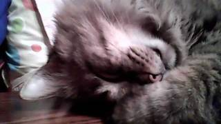 Kodi our Maine Coon snoring : - )