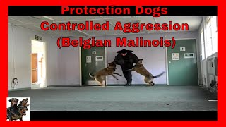 Dogtraining, Security Demo, 2 Dog Attack, Malinois On Suit,uk.