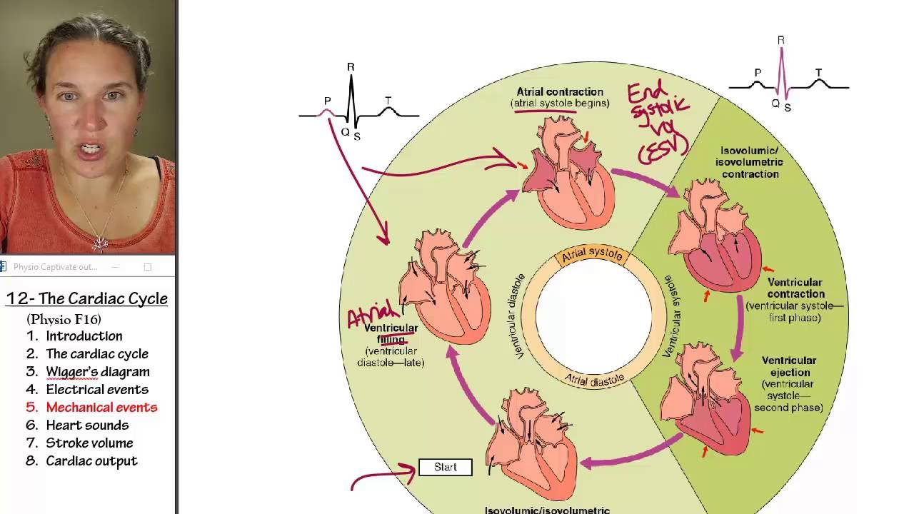 phases of a cardiac cycle Diastole is divided into four phases and comprises 2/3 of the cardiac cycle it begins when the aortic valve closes this is the start of isovolumic relaxation (volume remains constant but the pressure in the ventricles fall.