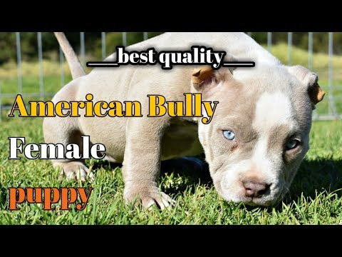 American Bully Puppy For Sale Am Bully For Sale Bully Puppy For Sale Meerut Pet Shop Youtube