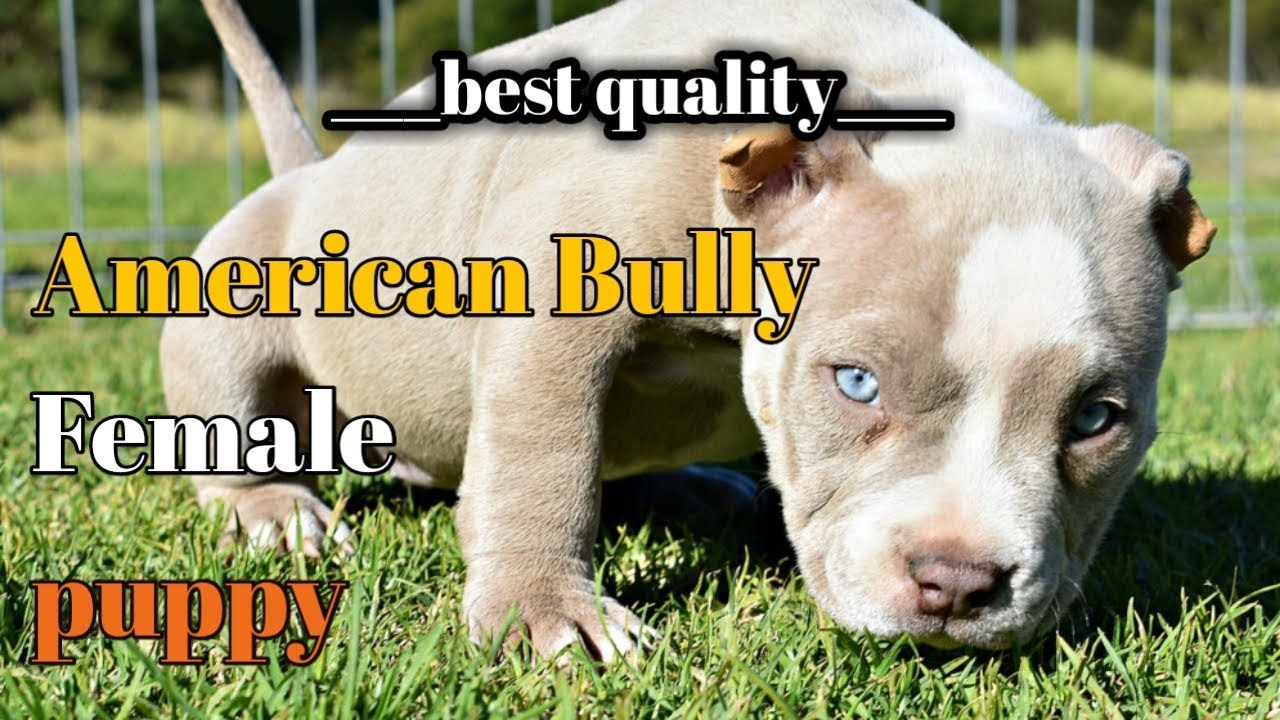 American Bully Pictures Goldenacresdogs Com