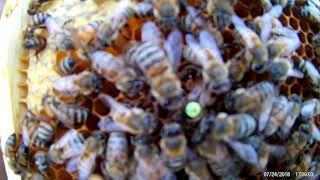 Пчеловодство.Немного о бакфасте.& Beekeeping. A little obakfaste