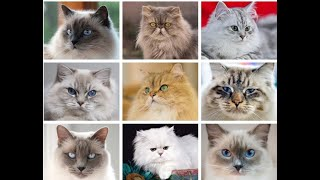 All  Cat Breeds In the  World(A to Z)| CAT BREEDS ( A  Z ) All TYPES OF With Pictures