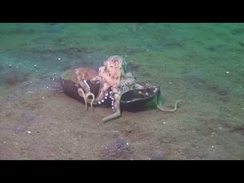 Watch: Octopus Carries Coconut—But Is It Using a Tool?