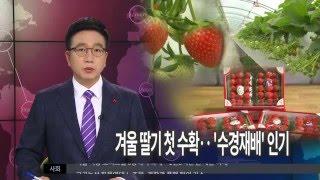 [대구MBC뉴스] 겨울딸기 첫 수확..'수경재배…