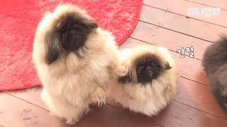 Pekingese puppies fighting as if they are trying to crash everything!