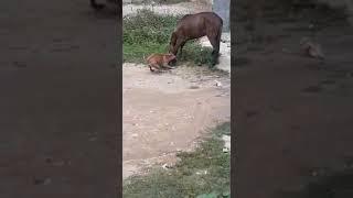 Pit bull vs Cavalo,  cachorro ataca cavalo na boca.