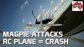 Magpie Attacks RC Plane and Causes Crash