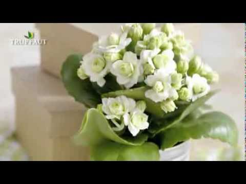 le kalanchoe mieux conna tre cette plante grasse jardinerie truffaut tv youtube. Black Bedroom Furniture Sets. Home Design Ideas