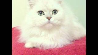 Шиншилла - персидские кошки (Chinchilla persian cat) породы кошек( Slide show)!