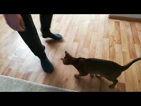 Абиссинский кот Рич/Abyssinian cat Rich