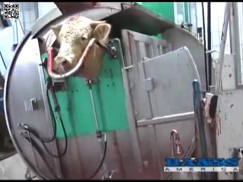 Cattle Slaughtering Part 1