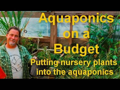Aquaponic's on a Budget (Planting nursery plants)