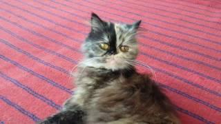 Персидская кошечка. Подружка кота Шрека