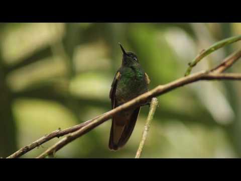 Frentíestrella Aliantiada macho, Coeligena lutetiae, Buff winged Starfrontler
