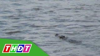 THDT - Vẫn chưa bắt được cá sấu nặng khoảng 60kg ở dưới sông tỉnh Long An thumbnail