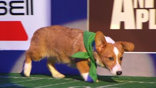Puppy Profile: Clyde the Corgi | Puppy Bowl XIV
