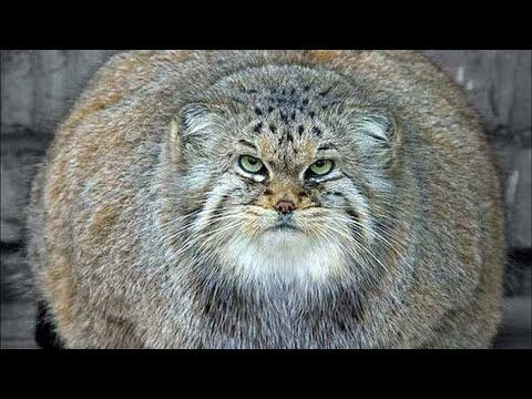 Thumbnail: WHOPPERS! World's FATTEST CATS! (Ultimate Fat Cat Compilation Video!)