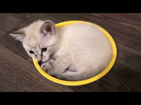 Kittens Playing in a Bowl! Loud Purrs too :)