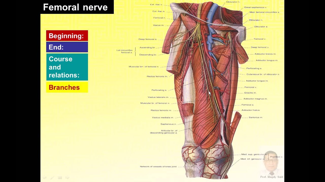 Magdy Said anatomy series,lower limb,front of thigh, femoral nerve ...
