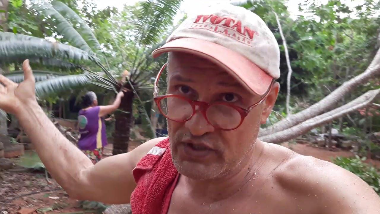 Árvore grande cai mata velho louco fedendo Em Rondônia, OURO PRETO DO OESTE, RONDÔNIA, BRASIL