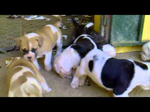 Bulldog Americano Cachorros Youtube