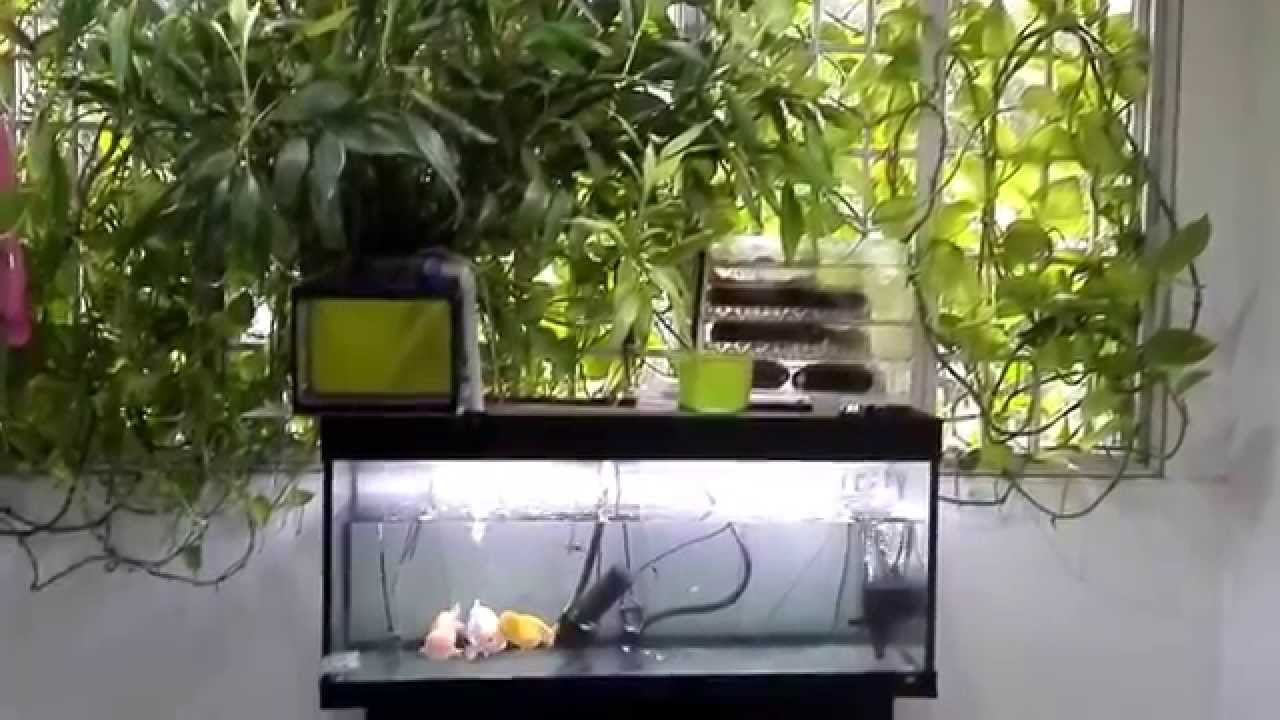 Vegetarian freshwater aquarium fish - Fish Tank Cum Veggie Filter Aug 2015