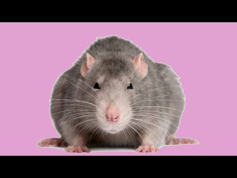 Выгул крыс в домашних условиях