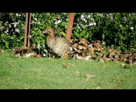 Видео: Wood ducklings