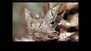 Amazing Animals Part1- The Thorny Devil