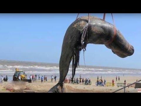 Worlds biggest dead whale fish at juhu beach mumbai youtube worlds biggest dead whale fish at juhu beach mumbai altavistaventures Choice Image
