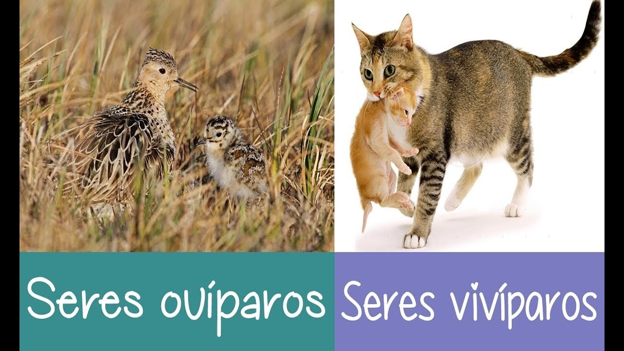 Animales Ovíparos Y Vivíparos Para Niños De Preescolar Visual Avi
