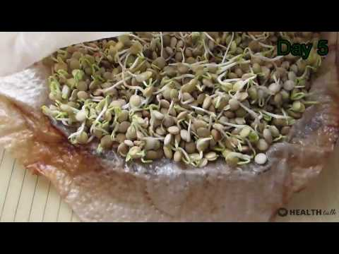 homemade sprouted lentils in 5 days and keep it for a long time