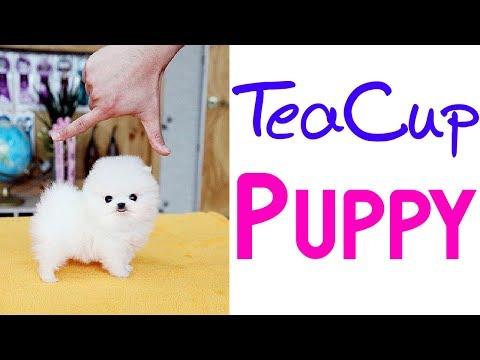 Teacup Pomeranian Puppy | Cutest ever 💟💟💟