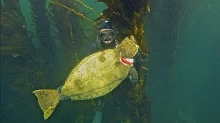 Spearfishing California- 22Lb halibut, NorCal to SoCal