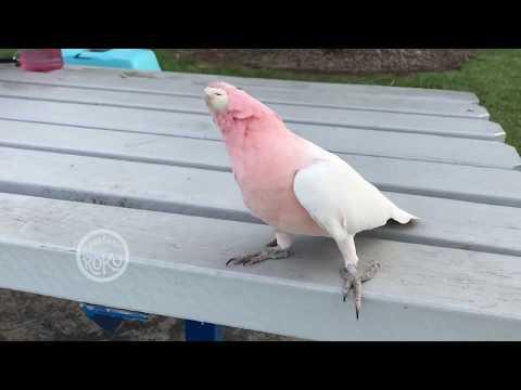 Duck Duck Pabu