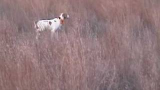 Bobwhite Quail Hunting Kansas