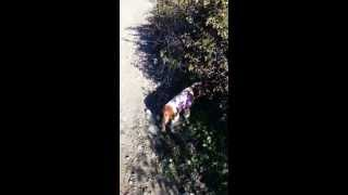 Cavalier King Charles Spaniel And Yellow Lab Search For Rabbits