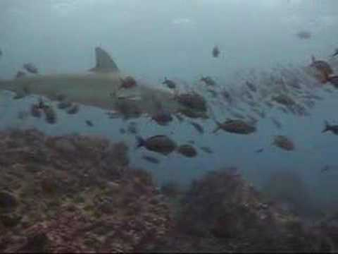 Galapagos Shark Checking me out