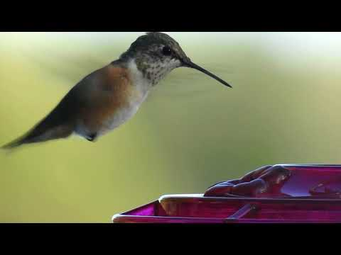 Rufous/Allen's Hummingbird 10/18/18 Ottawa County Michigan