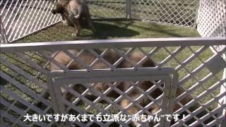 おとなしい大型犬の情報はこちらから http://www.masaki-collection.jp/